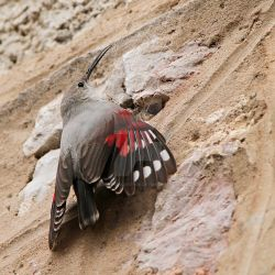 Scaling new heights- Wallcreeper by Jamie-MacArthur