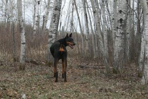 Black doberman stock 3 by brenna33