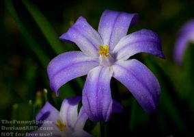 Two-leaf Squill - Scilla bifolia by TheFunnySpider