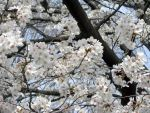 Sakura - Cherry Blossoms 3 by ApneicMonkey