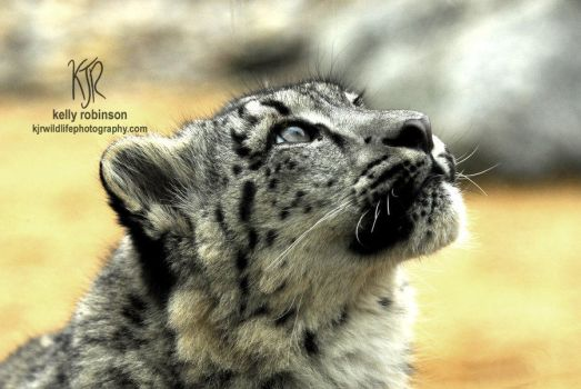 Snow Leopard - Up by Shadow-and-Flame-86