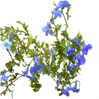 Blue Lobelia by LilipilySpirit