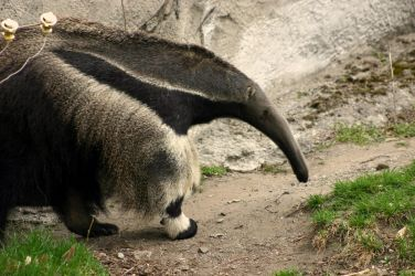 giant anteater. by yellohbrd