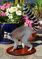 Ring-Tailed Lemur Taxidermy by LuxTaxidermy