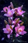 Pink lily by D-Lory