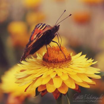 Butterfly on yellow flower by Estelle-Photographie