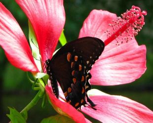Butterfly on my swamp hibiscus by MrsRamona