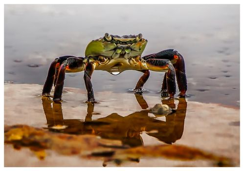 Crabe1 by catchaca1