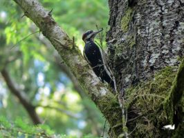Woodpecker On A Tree by wolfwings1