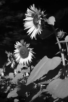 Sunflower (infrared) by mugurelm