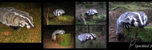 American Badger Soft Mount:Taxidermy by Speckled-Feather-UK
