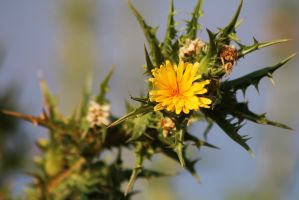 Yellow Thistle by organicvision