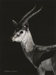 Thompson's Gazelle - Scratchboard by ShaleseSands