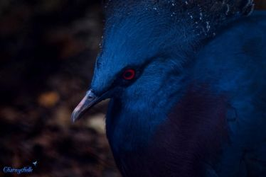 Victoria Crowned Pigeon by CCharmy