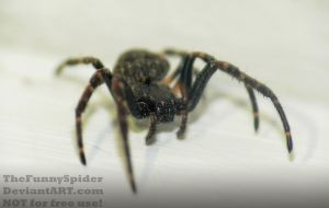 Young Female Walnut Orb Weaver Nuctenea umbratica by TheFunnySpider