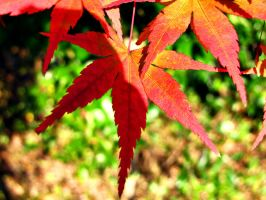 maple leaves 1 by FubukiNoKo