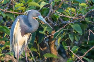 Tricolor heron looking pensive by CyclicalCore