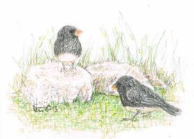 Two Juncos ACEO by metasilk