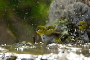 Oriental white-eye by fahadee