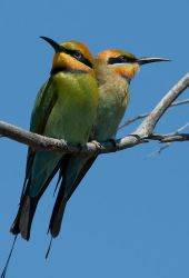 Pair of Rainbow Bee-eaters by Chezza932