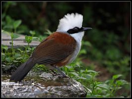 White-crested Laughing Thrush by cycoze