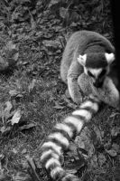Ring-tailed Lemur by RebeccaFB