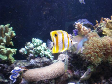 Clownfish with coral by debbie2008