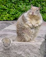 Cute Fat Squirrel Animal Stock by Enchantedgal-Stock