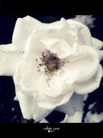 White Rose by backatone