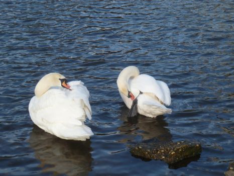 Two Mute Swans cleaning their Feathers 5 by Captain-Art-hero