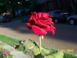 Red Rose by dnbarman
