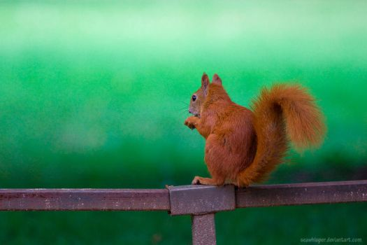 Squirrel Variations 3 by squirrelhollow