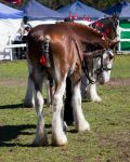 STOCK - Canungra Show 2012 168 by fillyrox
