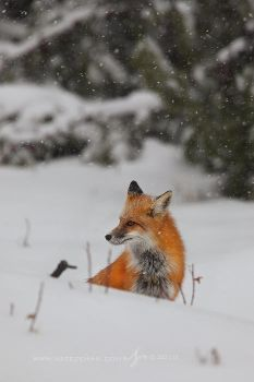 First Flakes: Red Fox by Nate-Zeman