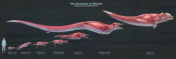 The Evolution of Toothed Whales (Muscle Study) by TheDragonofDoom