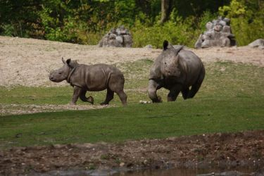 Baby rhino walking 2 by bookscorpion