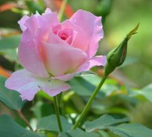 Pink rose After Rain 2 by astrals-stock