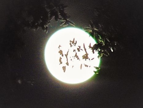 Moon thru the tree leaves 5-30-18 by knighttemplar1