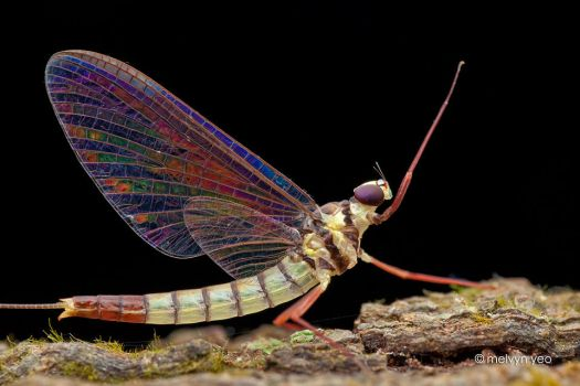 Mayfly with beautiful iridescence wing by melvynyeo