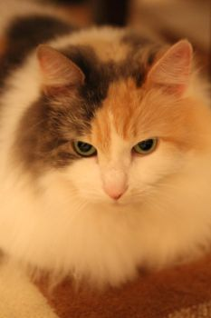 Calico Cat Stock 3 by ManipulatedAngel