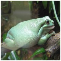 Big fat green frog by roes