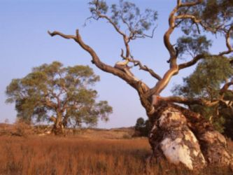 Red River Gum Tree by Sonishka