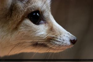 Fennec Fox 3 by Canisography