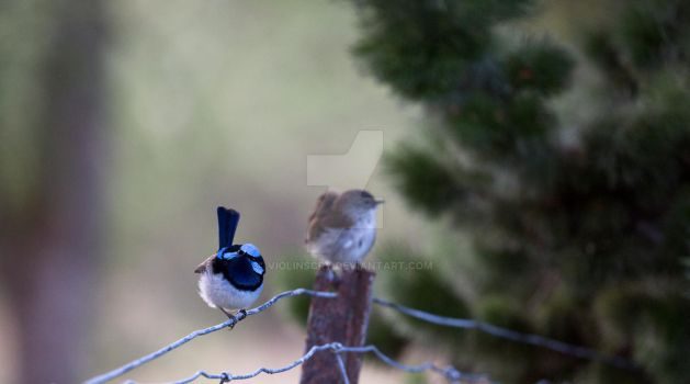 Blue Wrens - Curious by Violinscry