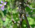 Resting dragonfly 2 by themanitou