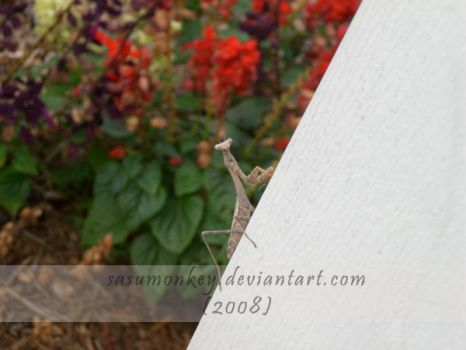 Peek A Boo - Praying Mantis by SasuMonkey