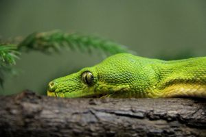 Green Tree Python by KMourzenko