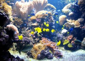 Coral Reef with Yellow Tangs by Sunspot01