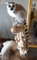 Taxidermy ring tailed lemur for sale:  Lemur catta by Museumwinkel