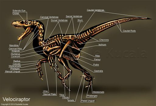 Velociraptor Skeleton Study by TheDragonofDoom